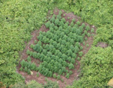 wildcat helicopter uncovers drug plantations